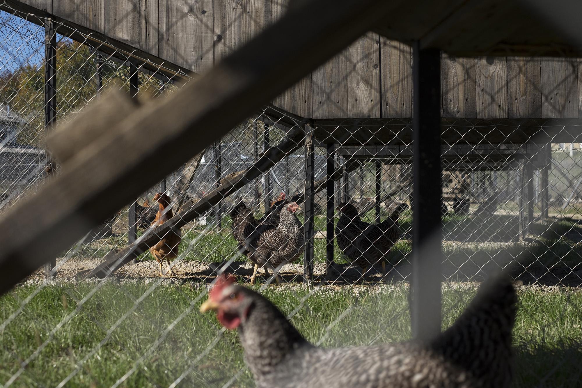 Chickenville, a chicken's ambition – Interview with SKROZ
